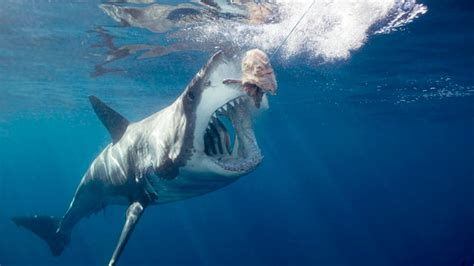 Here's Why We've Never Been Able to Tame the Great White