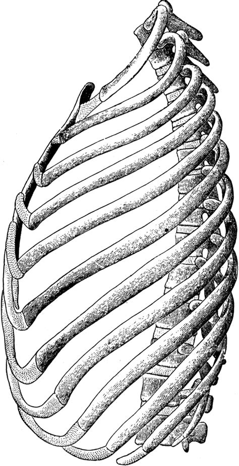 Ribs of the Left Side | ClipArt ETC
