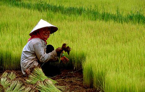 CHINA More than 10 per cent of Chinese rice tainted with