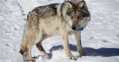 Mexican gray wolf population bounces back in Southwest