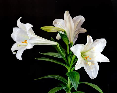 Easter Lily 1 - SoulPup Podcast