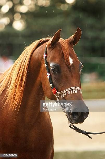 Arabian Horse Stock Photos and Pictures | Getty Images